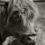 Photo of the Week: Highland Cow