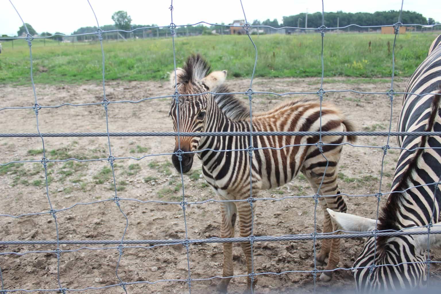 Ahhh, baby zebra!