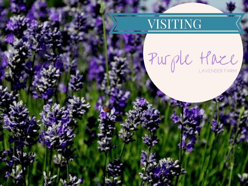 Lavender farms, sequim, washington