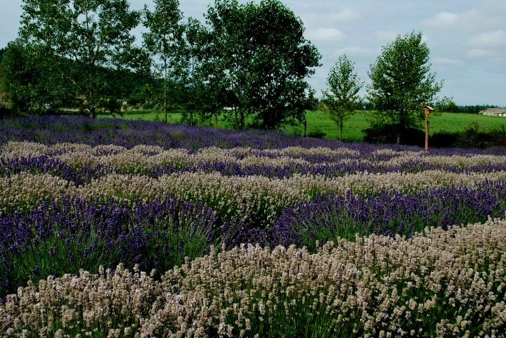 Rows and Rows of White and Purple Lavender