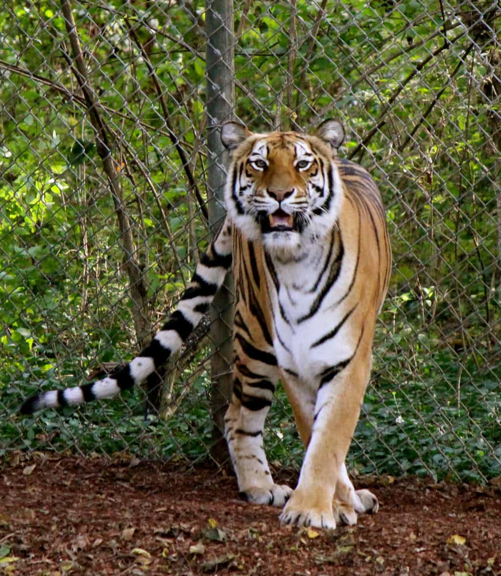 photo essay nashville zoo at grassmere a southern gypsy s bengal tiger