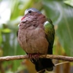 Photo of the Week: Emerald Dove at Animal Kingdom
