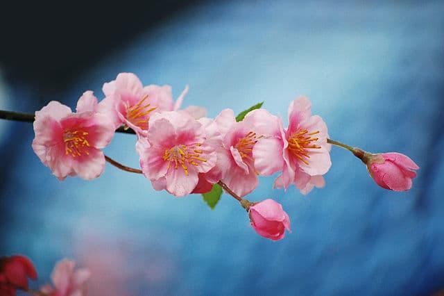 nashville cherry blossom festival, spring