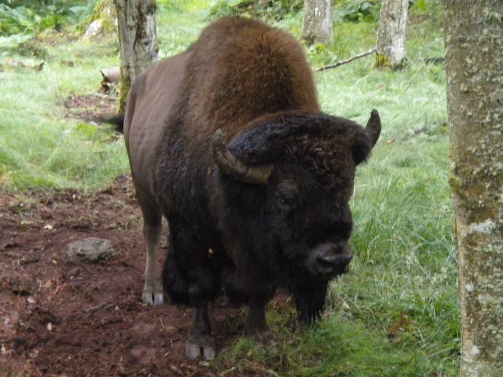 northwest wildlife trek, washington, bison