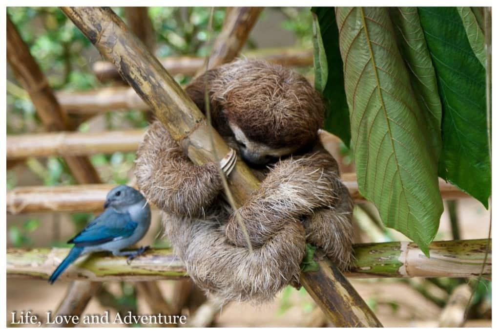 1 Puerto Viejo Jaguar Rescue Center - Three Toed Sloth & Blue Grey Tanager