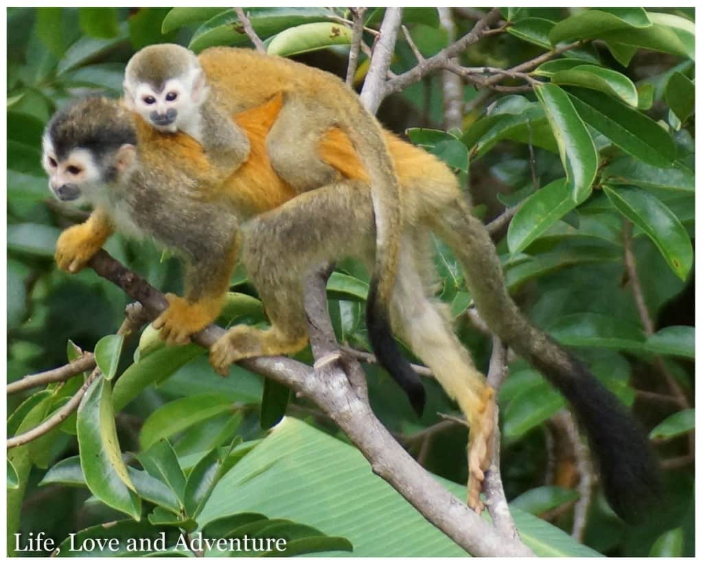 5 Quepos Manuel Antonio National Park - Squirrel Monkeys