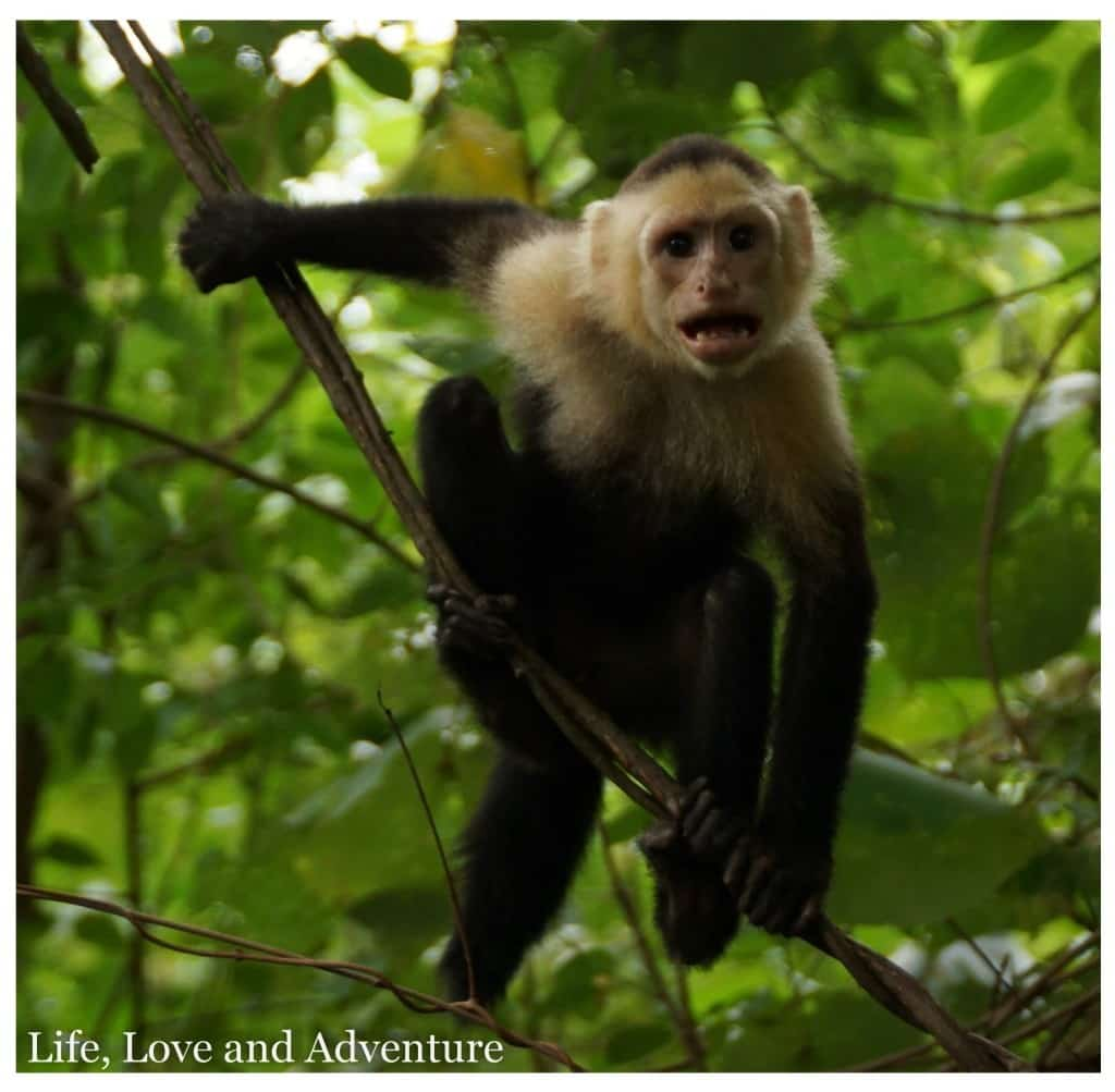 5 Quepos Manuel Antonio National Park - White Faced Capuchin Monkey (1)