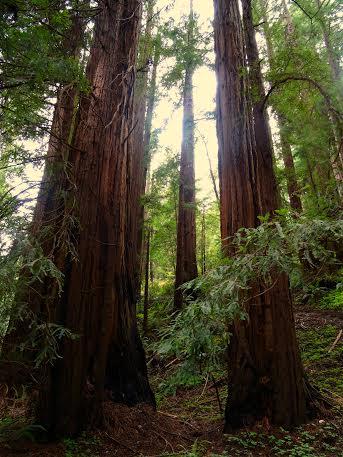 muir woods california