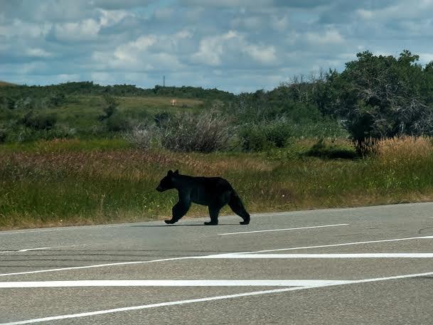 bears in waterton lakes national park