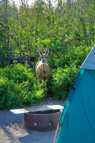 deer waterton lakes national park