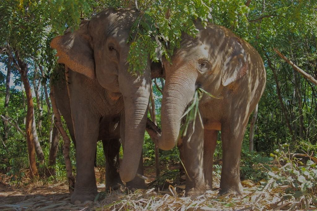 VOLUNTEER WITH ELEPHANTS SURIN PROJECT THAILAND