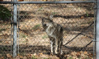 WHY VISITING THE ENDANGERED WOLF CENTER SHOULD BE ON YOUR ST LOUIS ITINERARY