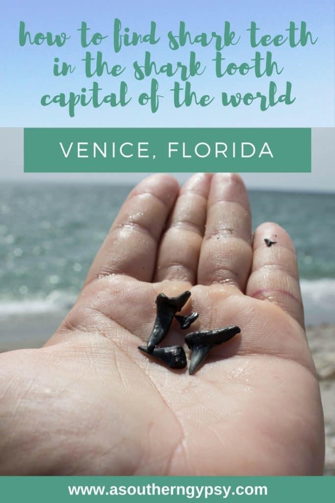 FIND SHARK TEETH IN VENICE, FLORIDA