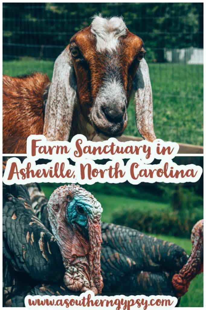 Looking for things to do in Asheville, North Carolina? Check out this amazing micro sanctuary founded by vegans and owners of Sanctuary Brewing Company. Give Sweet Bear Rescue Farm a visit on your next trip to North Carolina! #ashevillenc #asheville #northcarolina #sanctuary #farmsanctuary #animalsanctuary #animals #ethicalanimaltourism #responsibletravel #ethicaltravel #vegantravel