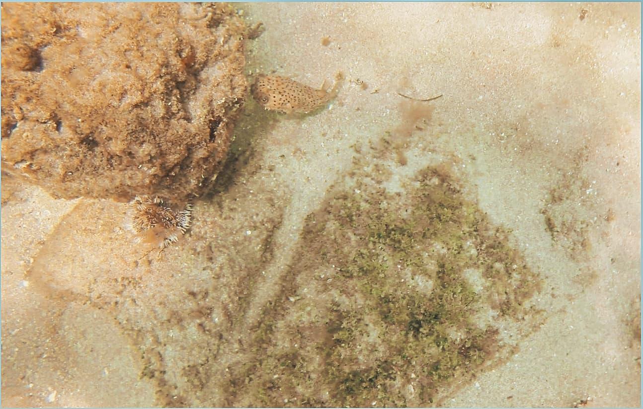 pufferfish | deerfield beach pier