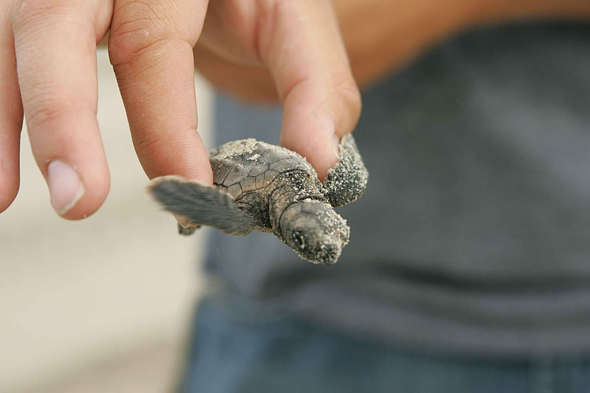 sea turtle rescue florida | holding baby loggerhead