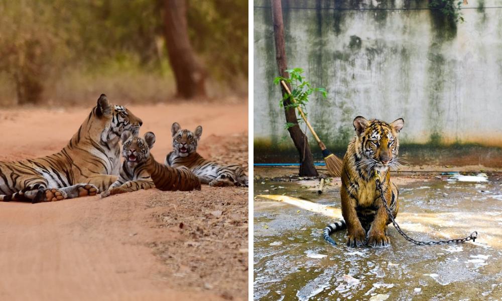tiger tourism